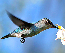 210-bee_Hummingbird_female