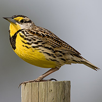 210-eastern_meadowlark